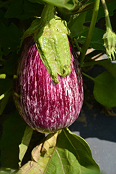 Pinstripe Eggplant (Solanum melongena 'Pinstripe') at Roger's Gardens