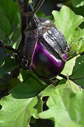 Satin Beauty Eggplant (Solanum melongena 'Satin Beauty') at Roger's Gardens