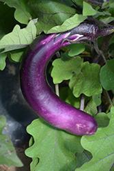 Ping Tung Eggplant (Solanum melongena 'Ping Tung') at Roger's Gardens