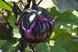 Sicilian Eggplant (Solanum melongena 'Sicilian') at Roger's Gardens
