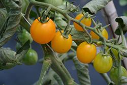 SunSugar Tomato (Solanum lycopersicum 'SunSugar') at Roger's Gardens