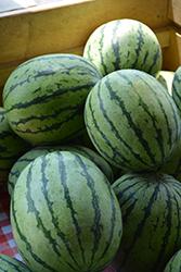 Mambo Watermelon (Citrullus lanatus 'Mambo') at Roger's Gardens
