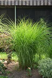 Gracillimus Maiden Grass (Miscanthus sinensis 'Gracillimus') at Roger's Gardens