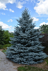 Iseli Foxtail Spruce (Picea pungens 'Iseli Foxtail') at Roger's Gardens