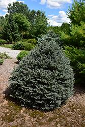 Horstmann Colorado Spruce (Picea pungens 'Horstmann') at Roger's Gardens