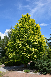 Gold Rush Dawn Redwood (Metasequoia glyptostroboides 'Gold Rush') at Roger's Gardens
