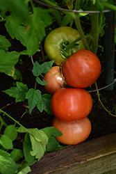 Big Beef Tomato (Solanum lycopersicum 'Big Beef') at Roger's Gardens