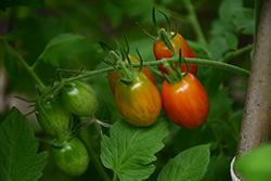 Sweet Million Tomato (Solanum lycopersicum 'Sweet Million') at Roger's Gardens