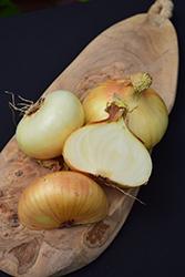 Vidalia Onion (Allium cepa 'Vidalia') at Roger's Gardens