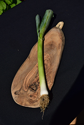 Lancelot Leek (Allium ampeloprasum var. porrum 'Lancelot') at Roger's Gardens