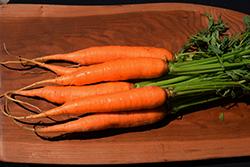 Adelaide Carrot (Daucus carota var. sativus 'Adelaide') at Roger's Gardens