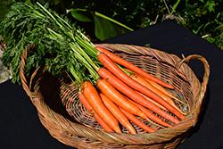 Carrot (Daucus carota var. sativus) at Roger's Gardens