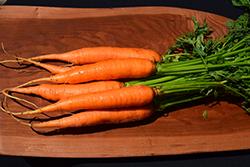 Yaya Carrot (Daucus carota var. sativus 'Yaya') at Roger's Gardens