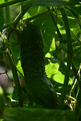 Bush Champion Cucumber (Cucumis sativus 'Bush Champion') at Roger's Gardens