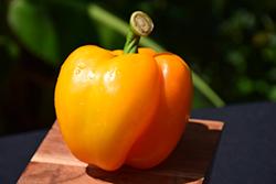 Golden Bell Pepper (Capsicum annuum 'Golden Bell') at Roger's Gardens