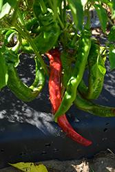 Long Thin Cayenne Pepper (Capsicum annuum 'Long Thin Cayenne') at Roger's Gardens