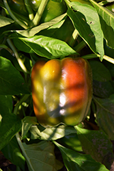 Chocolate Bell Pepper (Capsicum annuum 'Chocolate Bell') at Roger's Gardens