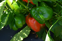 King of the North Sweet Pepper (Capsicum annuum 'King of the North') at Roger's Gardens