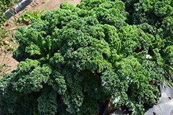 Kale (Brassica oleracea var. sabellica) at Roger's Gardens