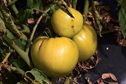 Great White Tomato (Solanum lycopersicum 'Great White') at Roger's Gardens