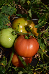 Big Brandy Tomato (Solanum lycopersicum 'Big Brandy') at Roger's Gardens
