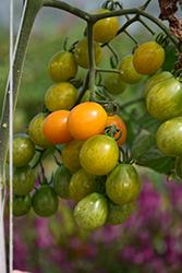 Bumble Bee Sunrise Tomato (Solanum lycopersicum 'Bumble Bee Sunrise') at Roger's Gardens
