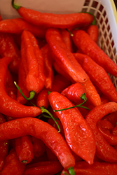 Hot Portugal Pepper (Capsicum annuum 'Hot Portugal') at Roger's Gardens