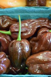 Habanero Brown Pepper (Capsicum chinense 'Chocolate Habanero') at Roger's Gardens