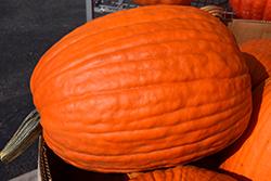 Big Max Pumpkin (Cucurbita maxima 'Big Max') at Roger's Gardens