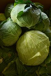 Late Flat Dutch Cabbage (Brassica oleracea var. capitata 'Late Flat Dutch') at Roger's Gardens