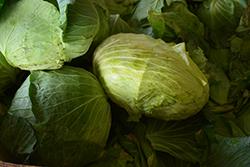 Big Flat Head Cabbage (Brassica oleracea var. capitata 'Big Flat Head') at Roger's Gardens