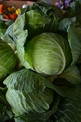 Copenhagen Market Cabbage (Brassica oleracea var. capitata 'Copenhagen Market') at Roger's Gardens