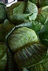 O.S. Cross Cabbage (Brassica oleracea var. capitata 'O.S. Cross') at Roger's Gardens