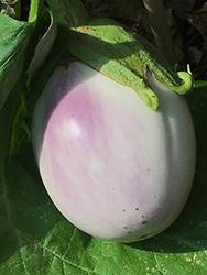 Rotonda Bianca Sfumata Di Rosa Eggplant (Solanum melongena 'Rotonda Bianca Sfumata Di Rosa') at Roger's Gardens